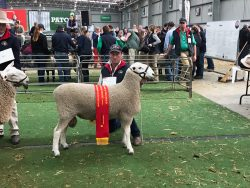 2019 Champion Ram Hamilton Sheepvention and Reserve Champion ASSBA