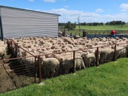 Ross and Lydia's lambs ready for sale 2017