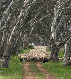 bring-home-sheep